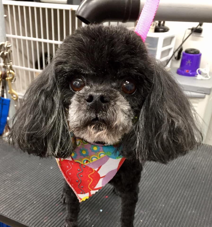 dog with bandana on grooming table